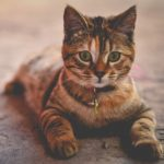 Veterinary Dog Cat Laser Surgery Sunshine Coast
