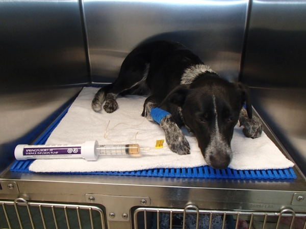 dog being-treated-for-tick-poisoning