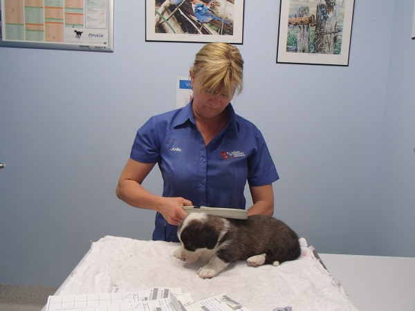 jodie-scanning-a-pup-for-microchip